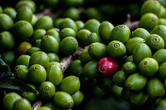 Green coffee cherry